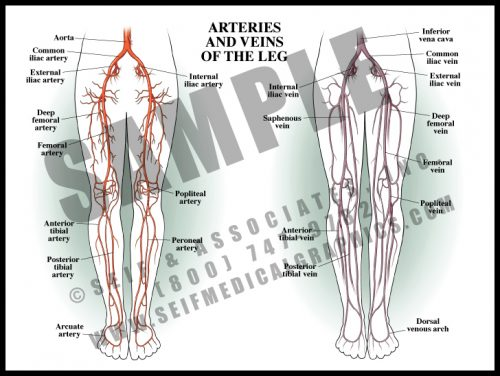 Medical Illustration of Arteries and Veins of The Leg