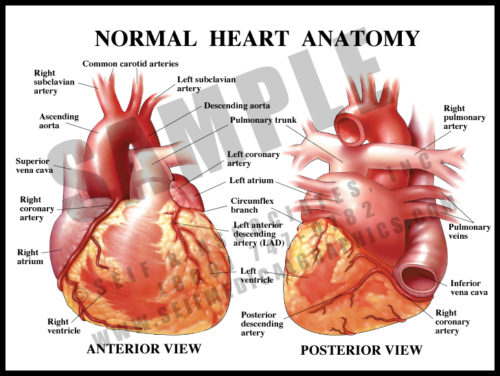 Medical Illustration of Normal Heart Anatomy