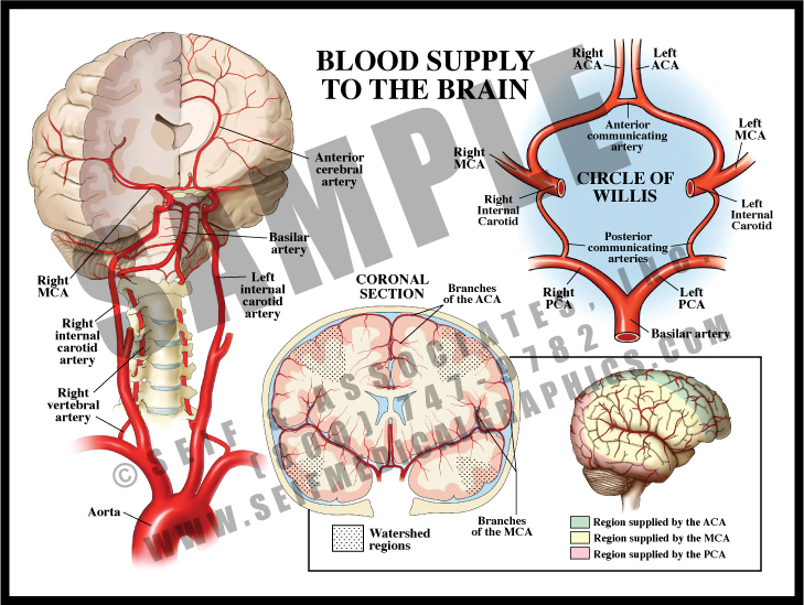 Medical Illustration of Blood Supply to The Brain