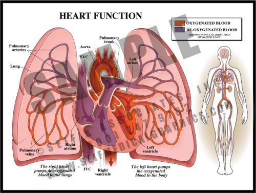 Medical Illustration of Heart Function