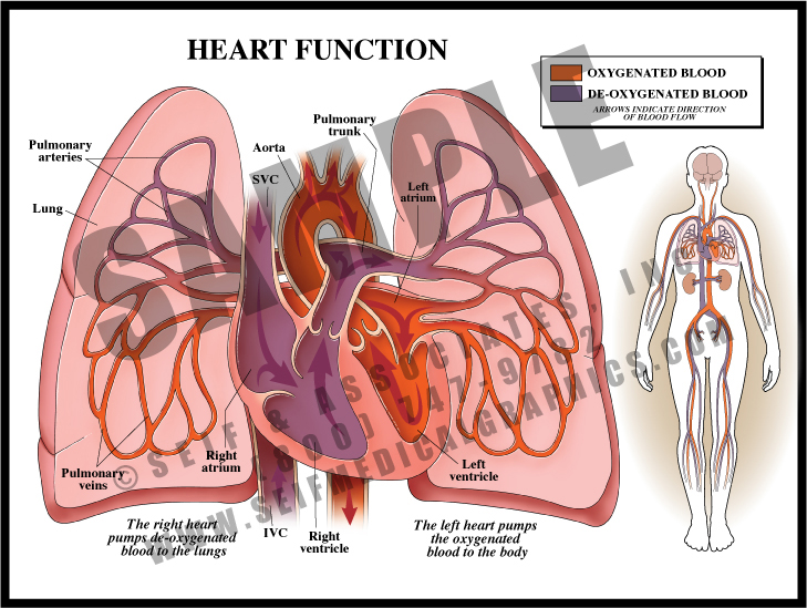 Medical Illustration of Heart Function