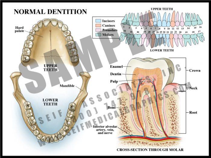 Medical Illustration of Normal Dentition