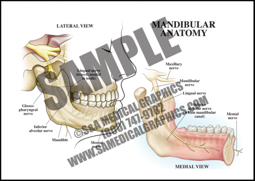Medical Illustration of Mandibular Anatomy
