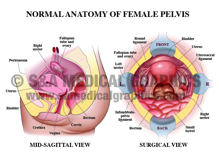 Medical Illustration surgical and mid-sagittal view of female pelvis