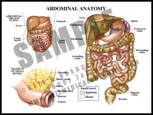 Medical Illustration of Abdominal Anatomy
