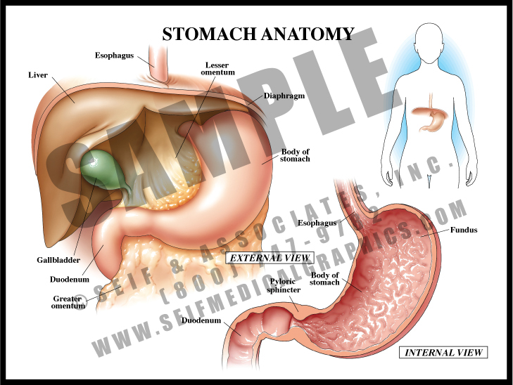 Medical Illustration of Stomach Anatomy