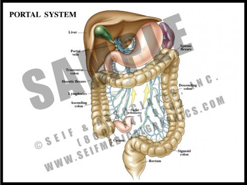 Medical Illustration of Portal System