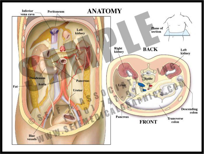 Medical Illustration of Retroperitoneum