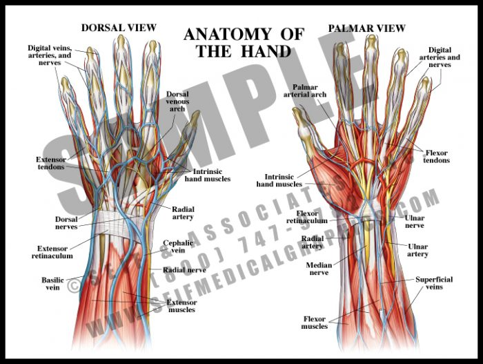 Medical Illustration of Anatomy of The Hand