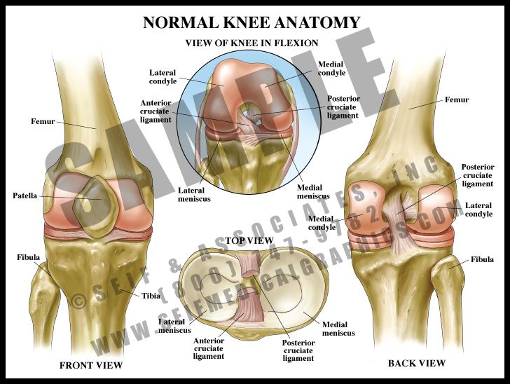 Medical Illustration of Normal Knee Anatomy
