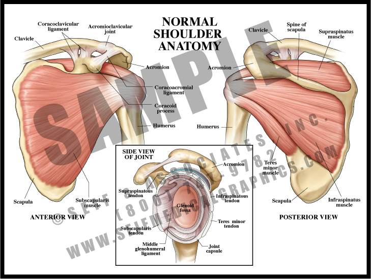 Medical Illustration of Normal Shoulder Anatomy