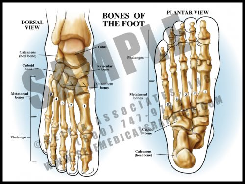 Medical Illustration of Bones of The Foot