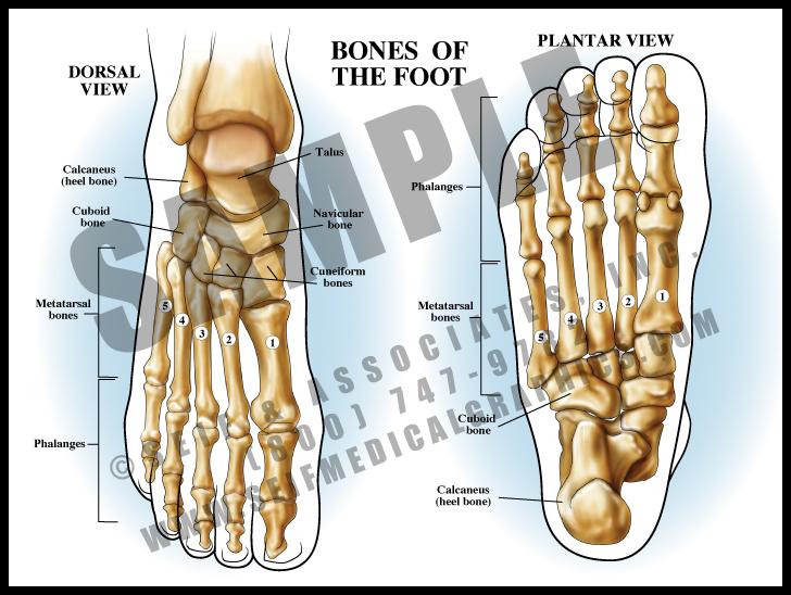Medical Illustration of Bones of The Foot