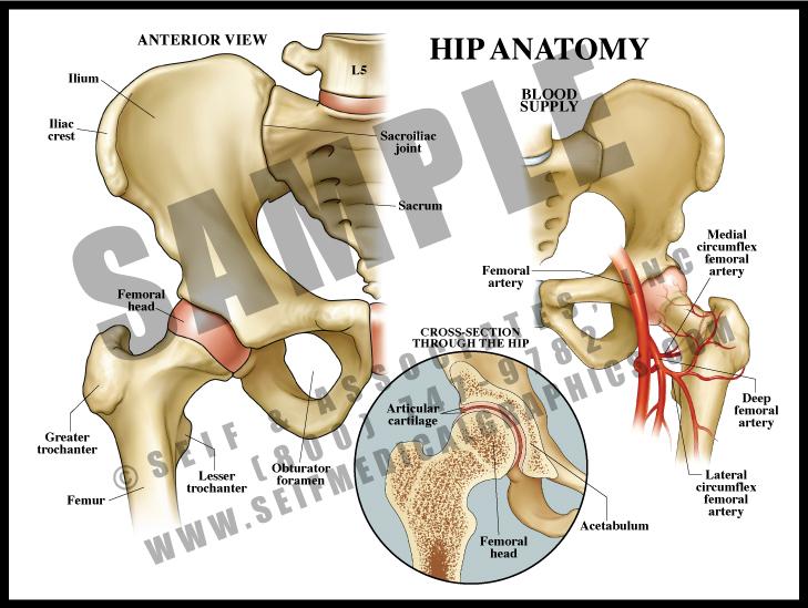 Medical Illustration of Hip Anatomy