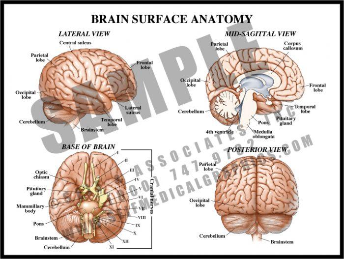 Medical Illustration of Brain Surface Anatomy