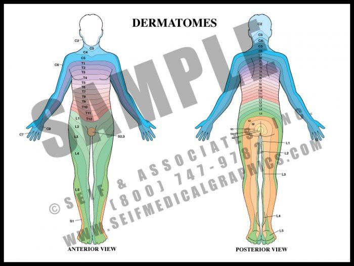 Medical Illustration of Dermatomes