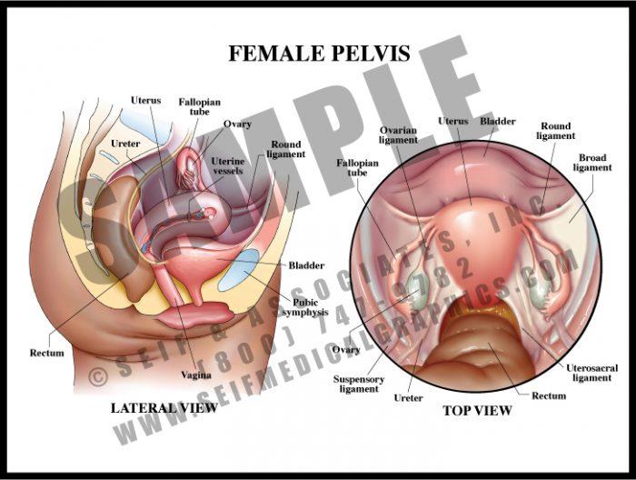 Medical Illustration of Female Pelvis