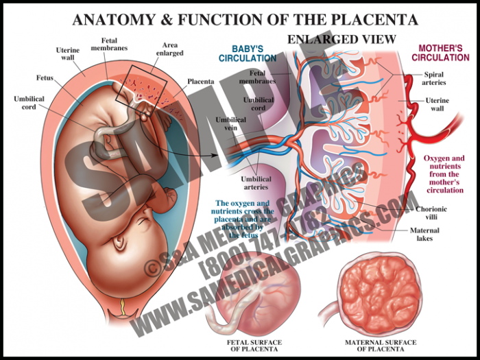 Medical Illustration of Anatomy and Function of The Placenta