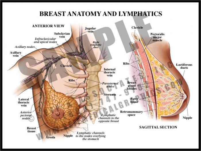 Medical Illustration of Breast Anatomy and Lymphatics
