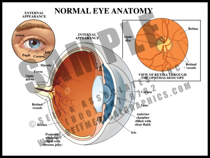 Medical Illustration of Normal Eye Anatomy