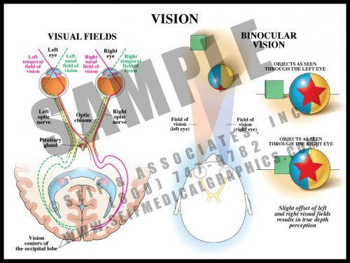 Medical Illustration of Vision