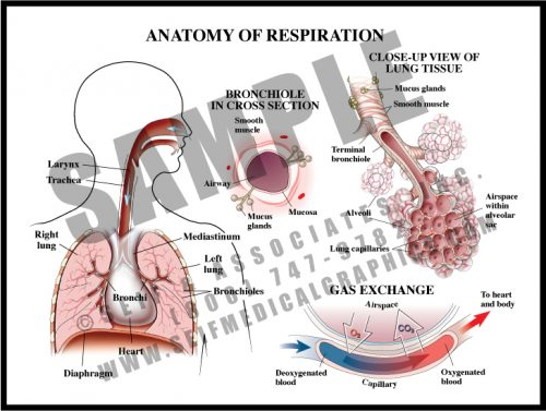 Medical Illustration of Anatomy of Respiration