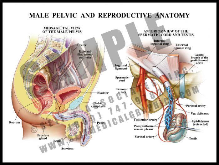Medical Illustration of Male Pelvic and Reproductive Anatomy