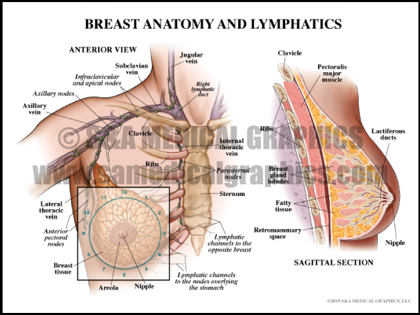 Breast Anatomy and Lymphatics