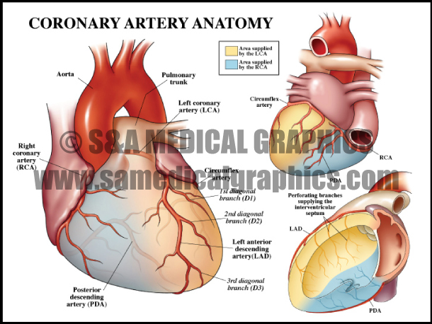 Coronary Artery Anatomy Stock Sample