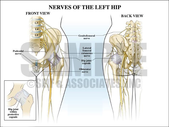 Nerve Anatomy of Left Hip Medical Illustration