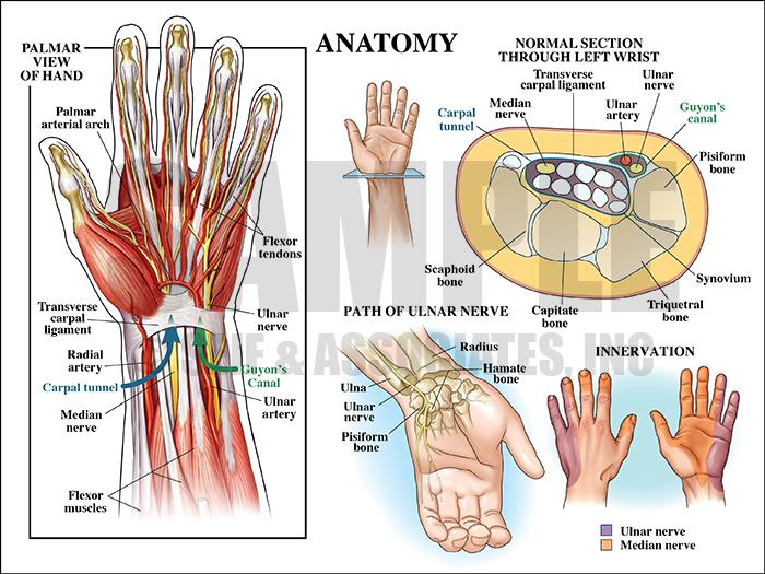 Hand Anatomy Medical Illustration