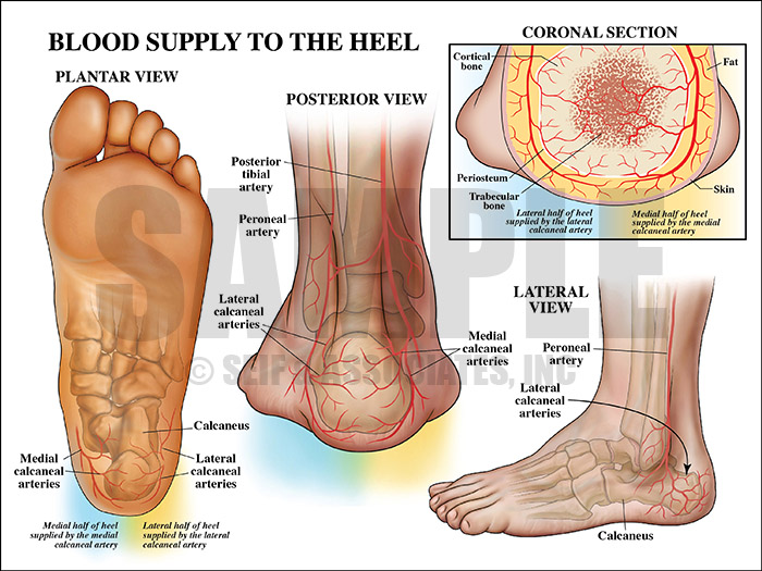 Blood Supply to the Heel