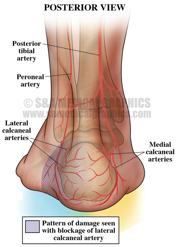 Posterior View of Ankle Medical Illustration